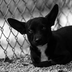 Baloo22Oct1600077-Edit.jpg (fredstrobel) Tags: dogs pawsatanta phototype atlanta blackandwhite usa animals ga pets places pawsdogs decatur georgia unitedstates us