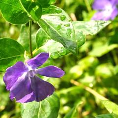 Grande pervenche. (Claudia Sc.) Tags: fleur bleu arige jardin pervenche vinca grande