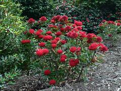 Telopea 'Braidwood Brilliant' (dracophylla) Tags: royaltasmanianbotanicalgardens telopeabraidwoodbrilliant proteaceae waratah