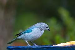 Azulejo (José M. Arboleda) Tags: ave azulejo tangaraazulada thraupisepiscopus coconuco colombia canon eos 5d markiv ef400mmf56lusm extenderef14xii jose arboleda josémarboledac