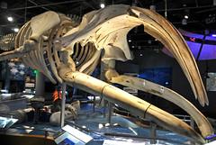 Eubalaena glacialis (North Atlantic right whale) 12 (James St. John) Tags: eubalaena glacialis north atlantic right northern whale whales mysticeti mysticete mysticetes cetacea mammal mammals skeletons cetacean cetaceans skeleton
