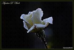 Rosa bianca... in un giorno di pioggia - Novembre-2016 (agostinodascoli) Tags: rosa pioggia nikon nikkor nature macro texture cianciana fiori sicilia agostinodascoli t nikonflickraward ad