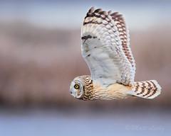 Short-Eared Owl (mLichy911) Tags: shorteared owl raptor owls bird flight bif pnw wa seattle wild wildlife nature 7dmarkii canon 500f4 action winter cold bokeh cruise flyby