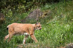 Walking lynx (Cloudtail the Snow Leopard) Tags: luchs wildpark bad mergentheim tier animal mammal sugetier cat katze feline lynx