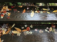 Swallow Falls SP ~ rainy day steps (karma (Karen)) Tags: swallowfallssp garrettco maryland mdstateparks trails paths steps stairs woods forest leaves fallcolor