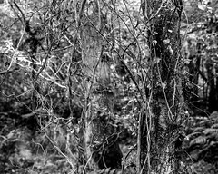 Tree with hanging Ivy (Hyons Wood) (Jonathan Carr) Tags: tree abstract abstraction landscape rural northeast decaytoyo45a 4x5 5x4 largeformat black white bw monochrome ivy infestation