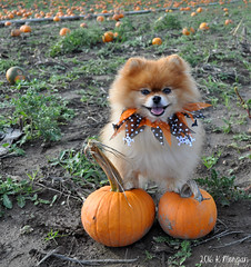 10.12.2016 Leo (kmmorgan1977) Tags: 12monthsfordogs16 12mfd geminisleothelionhearted geminipomeranians pomeranian 2016 october fall autumn oregon halloween pumpkin smiles sunshine orange black