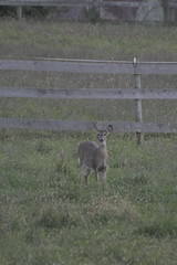 _MG_1860 (thinktank8326) Tags: deer whitetaileddeer fawn doe babyanimal babydeer