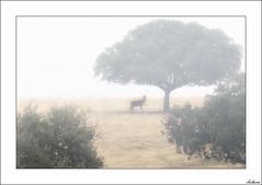 La berrea (V- strom) Tags: nikon naturaleza textura niebla ciervo encina verde amarillo otoo recuerdo fauna