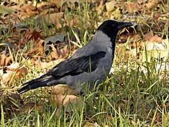 le regine della citt (silvia07(very busy)) Tags: cornacchia cornacchiagrigia uccello bird corvuscornix erba hoodedcrow hoodie