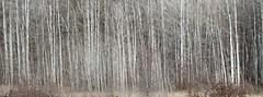 sunoka-aspen (JeremyOK) Tags: aspen grove forest trees white bark silver sunoka summerland bc okanagan troutcreek 100mm provincialpark park panorama stitched fall autumn