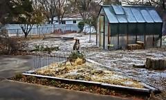 A Little Snow Day (Happy 16th Anniversary To US!) Tags: ddc 1860 beautifulandartistic photo backyardwalk snow little shizandra greenhouse garden yard fence