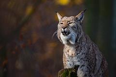crying Lynx (Mel.Rick) Tags: sugetiere zooduisburg tiere natur raubtiere raubkatzen luchs groskatzen
