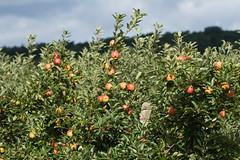 ckuchem-2199 (christine_kuchem) Tags: apfelplantage biolandwirtschaft erntezeit landbau landwirtschaft naturhof obstplantage biologisch obstbã¤ume reif ãpfel