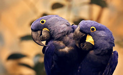 The debate (aquigabo!) Tags: montreal fauna biodome animal bird parrot hyacinthmacaw dof canon depthoffield t5i eos rebel dsrl 700d 200mm aquigabo couple two nature life composition light contrast noisy debate loudest