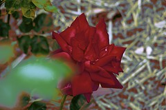 Red Rose! (maginoz1) Tags: rose yello red pink abstract art manipulate flowers flora summer december 2016 bullarosegarden melbourne victoria australia canon g3x
