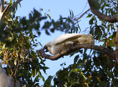 Treat that Beak (tessab101) Tags: sulphur crested cockatoo white bird birds blue mountains nsw lower australia