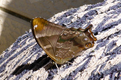 Lethe dura dura (Scarce Lilacfork)