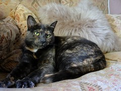 Gorgeous Nia Cat (Pammy'sPics) Tags: liverpoolcatrescue nia rescuecat tortie fujixt2 cat