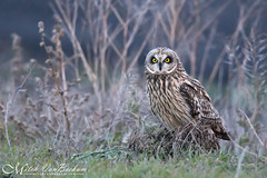 Low Light Beauty (Short-Eared Owl - Explored) (Mitch Vanbeekum Photography) Tags: shortearedowl perched sitting blackdirtregion ny newyork wildlife wild short ear eared owl mitchvanbeekum mitchvanbeekumcom canon14teleconvertermkiii canonef500mmf4lisiiusm canoneos1dx