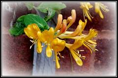 P1140031 Honeysuckle (hartley_hare7491) Tags: honeysuckle