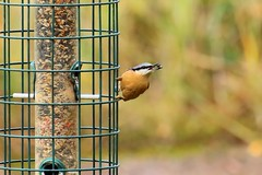 Nuthatch feeding (Mrs Airwolfhound) Tags: rspb sandy beds canon 70d winter birds nuthatch