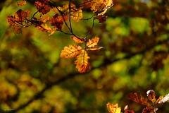 Feuilles de chêne (jpto_55) Tags: feuille feuillage automne chêne xe1 fuji fujifilm fujixf55200mmf3548rlmois hautegaronne france