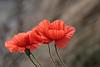 Coquelicot 140501-02-P (paul.vetter) Tags: coquelicot coquelicots fleurs pavot nature