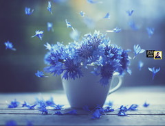 Photo of the month - December (I Am Nikon Europe) Tags: wishful december photoofthemonth nikon d5000 fineartphotography blue flowers window still life dreamy