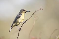 Purple Sunbird (Abhishek T) Tags: purple sunbird birds birding nature wildlife animals