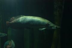 Arapaima (fernand0) Tags: arapaima pez fish acuario zaragoza spain