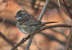 IMG_6642 (grnygole) Tags: sparrow whitethroatedsparrow