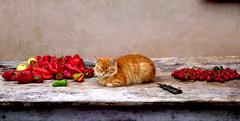 Still life (-Aldievel-) Tags: italy autumn italia color table cat countryside home colori campagna cats molise casa peppers autunno gatti gatto peperoni orto tavolo peperoncini
