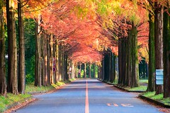 The tunnel of Autumn (Changer4Ever) Tags: nikon d7200 nikkor season autumn fall leaf leaves tree trees row rows rowoftrees tunnel road roadside color colorful outdoor