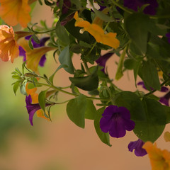 Hanging Flower Pot (swong95765) Tags: bokeh petunia flowers hanging flowerpot beautiful pretty