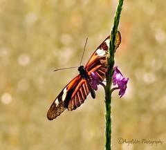 Doris Longwing Butterfly (AngelVibePhotography) Tags: butterflies butterfly animal arthropods insects nature photography macro insect longwingbutterfly nikon closeup outdoor dorislongwingbutterfly nikonp900 orange
