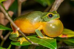 Graceful Treefrog (Litoria gracilenta) (JLoyacano) Tags: australia frog gracefultreefroglitoriagracilenta gracefultreefrog jacobloyacano litoriagracilenta anura calling frogcall herp herping litoria rainforest