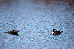 Hooded Merganser 14 (male) (LongInt57) Tags: hooded merganser duck bird water pond floating swimming reflecting reflection log white black brown blue nature wildlife kelowna bc canada okanagan