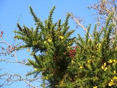 Gorse and Hawthorn berries (JulieK (finally moved to Wexford)) Tags: gorse hawthorn berries autumn bluesky canonixus170 2016onephotoeachday nature flora plant flowers wexford ireland irish