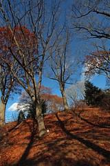 Quercus rubra (Red oak) 5859*A and 5859*B (smrozak) Tags: suzannemrozak 27nov2016 oakroute quercusrubra redoak 5859a 5859b