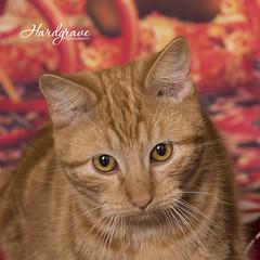 Shelter Pets (Hardgrave Photography) Tags: shelterdog clarksvillephotographer certifiedprofessionalphotographer ki kitten cat gato gatitio arkansaspetphotographer