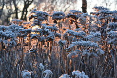 winterse zonsopkomst (zaqina) Tags: wit winter rijp zonsopkomst sunrise