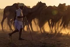 At Pushkar camel fair (Akilan T) Tags: canon5dmk3 canon akilanphotography akilan india rajasthan running sunrays rays dust dusk sunset camels pushkarcamelfair pushkarfair pushkar chennaiweekendclickers cwc561 cwc