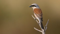 Red-backed Shrike (explored) (Matt Scott Wildlife Photography) Tags: