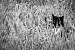 Little Lion (The Aperture Geek) Tags: cats cat grass longgrass animals feline hunter stalking blackwhite bw outdoors eyes staring pets wild wilderness wildlife pussy scotland garden canon 70d sigma 1770