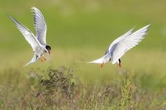 Kra - Arctic tern - Sterna Paradisaea (Baddi89) Tags: iceland nature wildlife arctictern nordic animal bird birds birding ngc outdoor sland fugl fuglar kra nttra sternaparadisaea baddi89 canon500mmf45