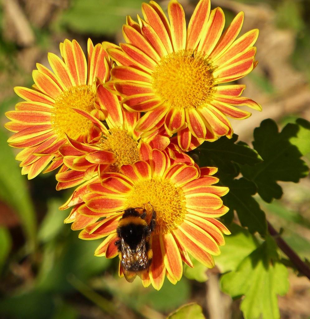 chrysanthemum x morifolium - photo #35