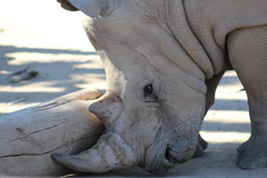 (Rae of Mad Photography) Tags: rhino africa dust dirt cry eye eyes horn endangered endangerment skin wrinkles whiterhino white grey gray nature animal animals rub push play