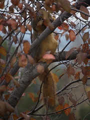 Squirrel 20161205 (caligula1995) Tags: 2016 plumtree squirrel