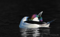 Meditation Session in Progress (Chantal Jacques Photography) Tags: bufflehead wildandfree desaturation bokeh artisticrendition meditationsession